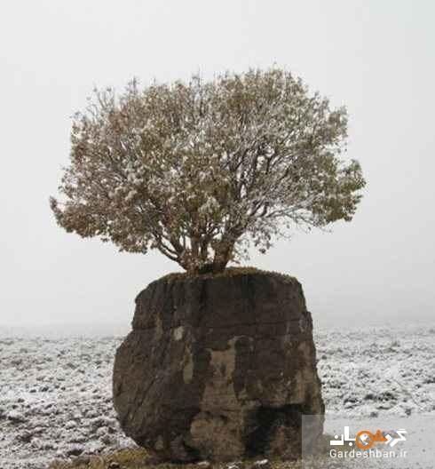 تک درخت عجیب ایران در ارسنجان فارس