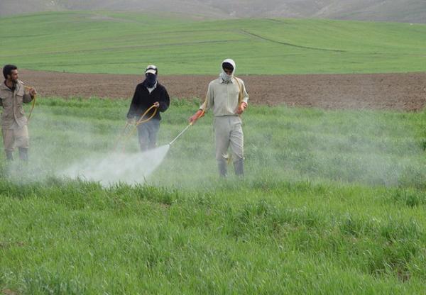 مبارزه با سن غلات در 211 هکتار مزارع خمینی شهر