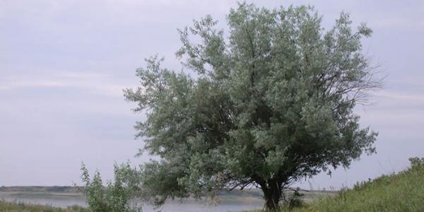 نحوه کاشت درخت سنجد و شرایط نگهداری از آن
