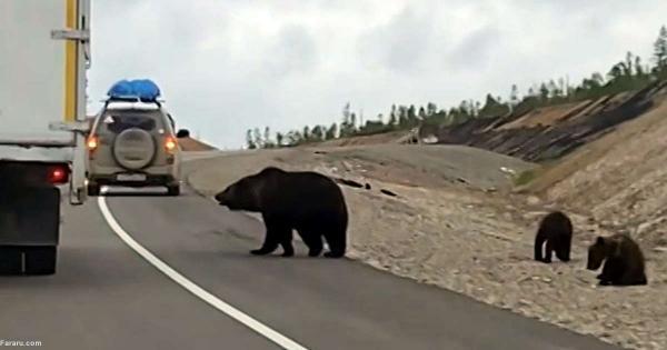 باج گیری خرس ها از رانندگان در جاده!